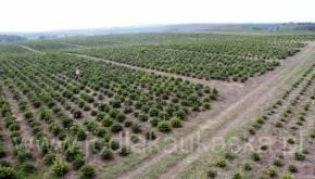 Tak wyglądała nasza plantacja choinek w roku 2010