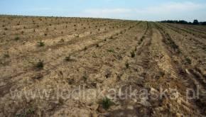Plantacja choinek zaraz po posadzeniu nowych sadzonek