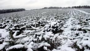 Plantacja choinek zimą