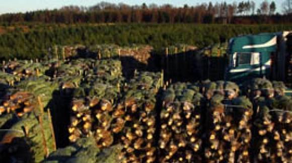 Wycięte  i zapakowane choinki czekają na transport