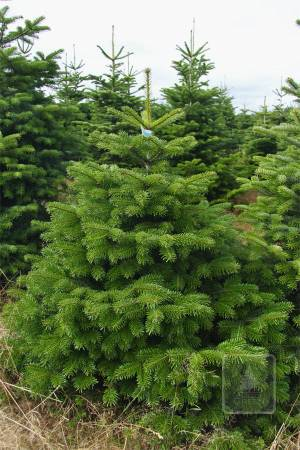 Nordmann Fir PRIMA in the pot 125-150 cm
