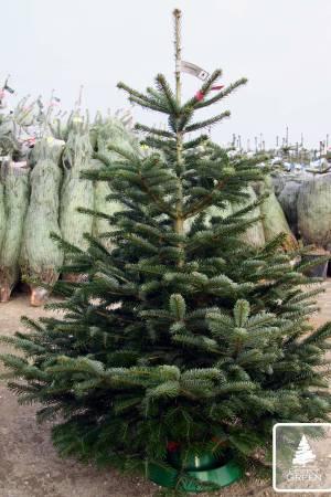 Jodła Kaukaska PRIMA cięta 150-175cm