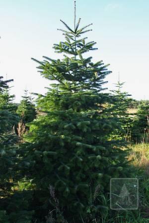 Jodła Kaukaska STANDARD cięta 270-320cm